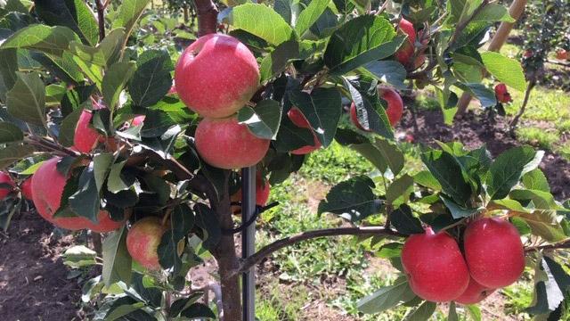 Äppelskörden kickar igång!