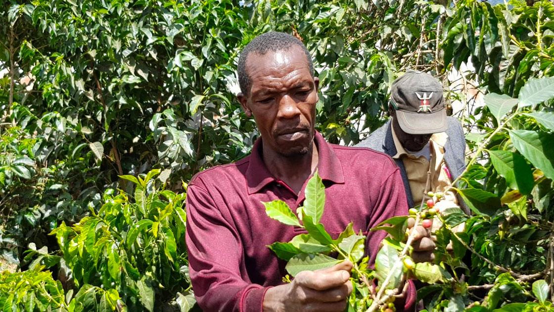 Rapporter om dåliga skördar leder till högre pris på kaffe – och nya möjligheter