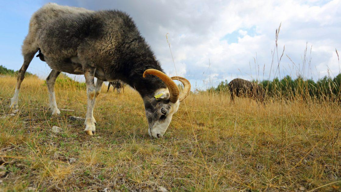 9615008-goat-close-up-min